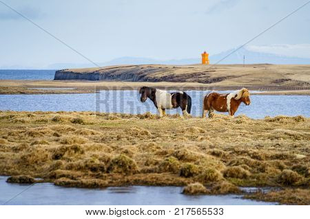 Icelandic horses standing back to back in a cold Icelandic landscape. Iceland, Europe.