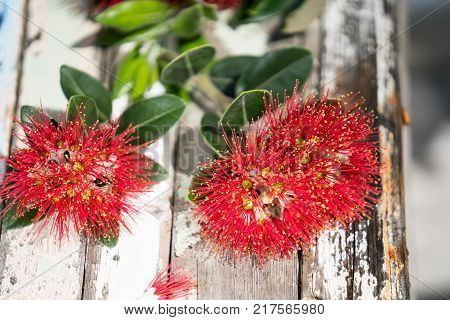 Pohutukawa flower on rustic boatwood tablle closeup.