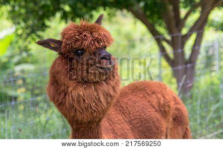 brown Llamas or Alpaca (Vicugna pacos). animal concept.