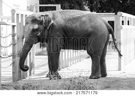 African elephant in the zoo wild animal