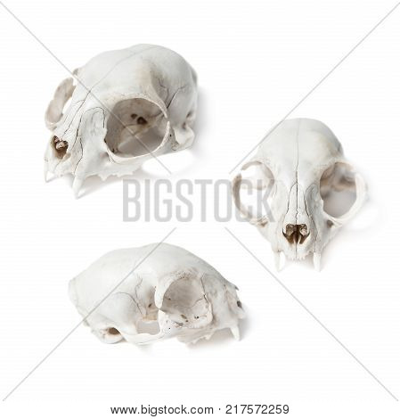 Animal Skull isolated on white background. Cat skull with white background. Set of three positions