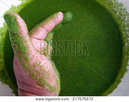 Wolffia globosa on hand. Wolffia globosa or Fresh water Alga, Water Meal, Swamp Algae is local food for Thailand.
