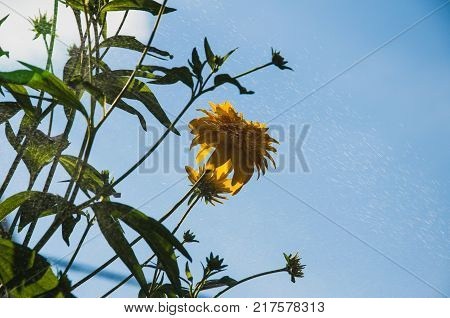 lobed rudbeckia (Golden ball) on the background of blue sky and splashes of water