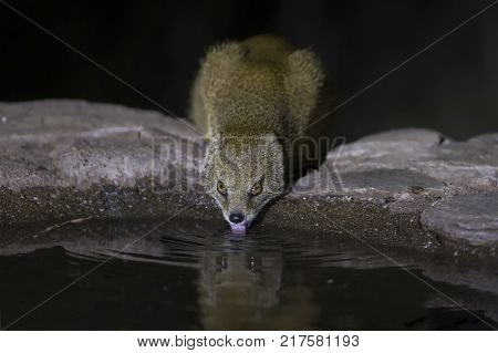 Yellow Mongoose drinks water from a waterhole in the Kalahari desert at night