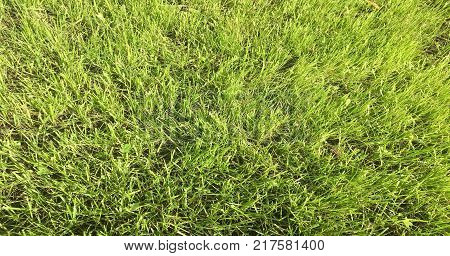 Green grass field. Grass green background. Natural green grass texture natural green grass background for design with copy space for text or image