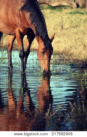 Bay coloured horse drinking from and reflected in a watering hole in country NSW, near Gooloogong, Australia