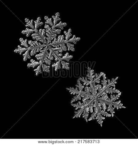 Two snowflakes isolated on black background. Macro photo of real snow crystals: large stellar dendrites with complex, elegant shapes, fine hexagonal symmetry, glossy relief surface and ornate arms. poster