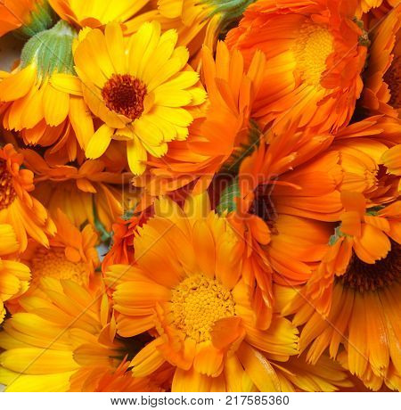 Flowers of Calendula or Marigold (Calendula officinalis) - harvest of fresh flower-heads for medical herbal therapy