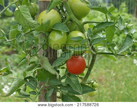 tomatoes ripen on shrubs Eastern Bohemia Czech Republic