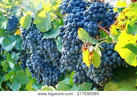 Large brush of dark grapes on the vine. Autumn harvest of grapes. Grapes (lat. Vítis) called the berry of life. Vineyards of Abrau-Durso