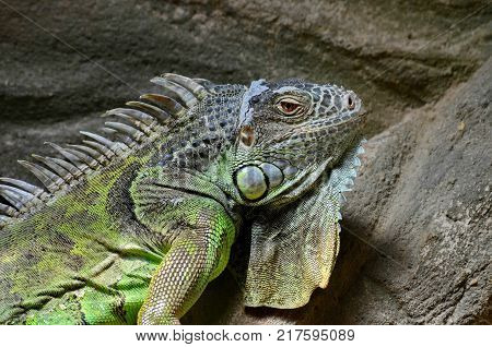 An ordinary iguana, or a green iguana (Lat. Iguana iguana) is a large herbivorous lizard, leading a daily woody life. It lives in Central and South America. Closeup.