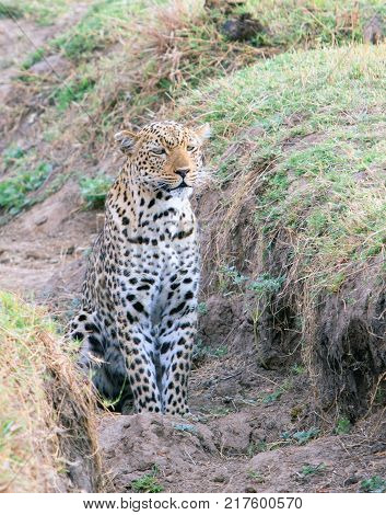 Alert African Leopard (panthera pardus) looking directly ahead as if seen something in the distance South Luangwa Zambia