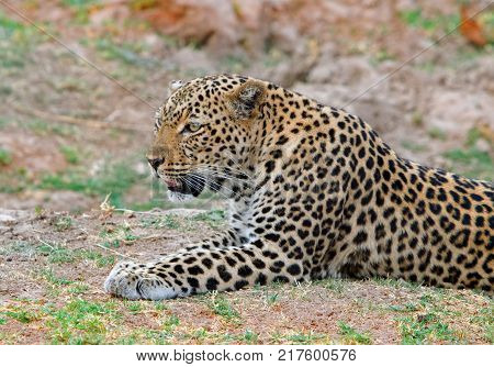 Female Leopard (Panthera pardus) lying contently on the african plains in South Luangwa National Park Zambia Southern Africa