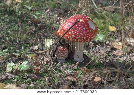 fly agaric easily recognizable mushroom on sunny glade among leaves of wild strawberry. picturesque couple with spotted red caps