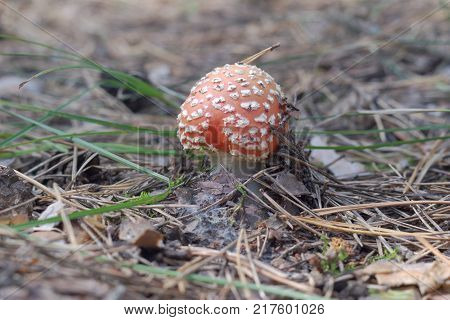 red mushroom with spotted cap of irregular shape. young fly amanita