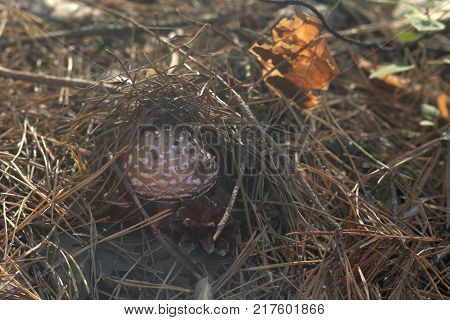 spotted brown mushroom under cover of last year's pine needles in the sunlit forest