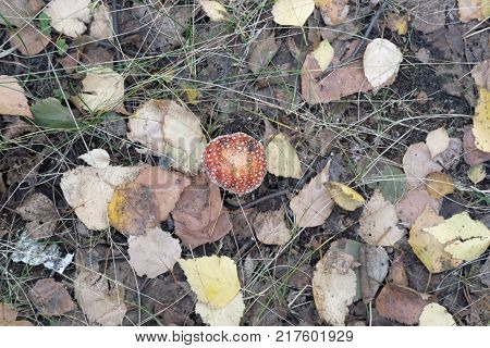mushroom amid the autumn foliage. red spotted fly agaric in the center of the frame