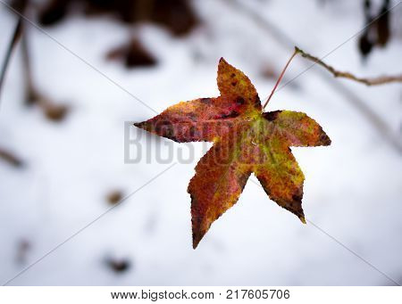 Fall colored Maple leaf against snowy woodsy background