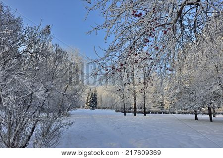 Beautiful winter landscape in the city park hoarfrost covered. Hoarfrost-covered branch of wild apple tree with red fruits at foreground and footpath leading off to fir trees