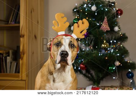 Portrait of staffordshire terrier puppy posing in cozy living room dressed up for new year celebration. Dog with rudolf the reindeer hat sits in front of decorated fur tree and packed christmas presents