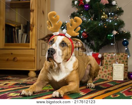 Funny dog with big ears in cozy living room in front of fur tree and new year gifts. Staffordshire terrier dog with reindeer horns rests on carpet in living room next to decorated christmas tree and packed presents and greeting card