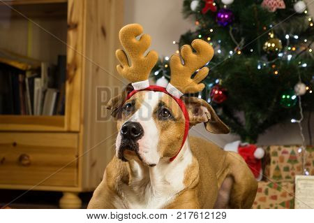 Portrait of dog with rudolf the reindeer hat and funny ears in front of decorated fur tree and packed presents. Staffordshire terrier dog dressed up for winter holidays in living room next to christmas tree and gifts wrapped in packpaper
