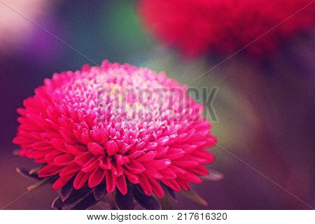 Pink flower with a lot of rounded petals is captured in macro photos