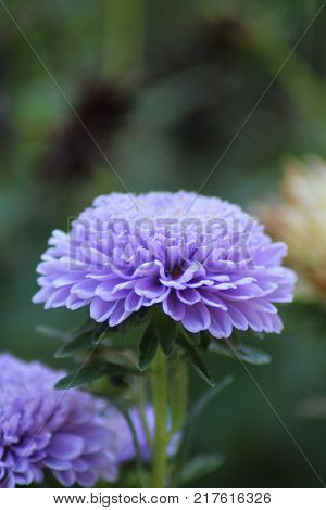 A gently purple flower with a lot of rounded petals is captured in macro photos