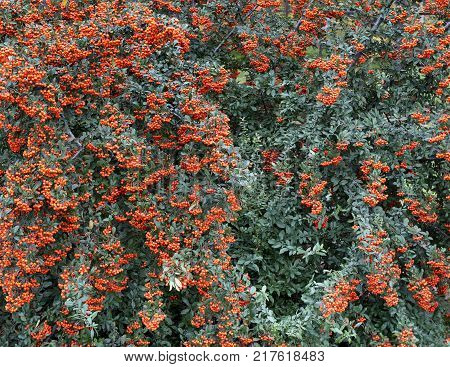 Fruits of bright orange berries of mountain ash thickly envelop the green tree