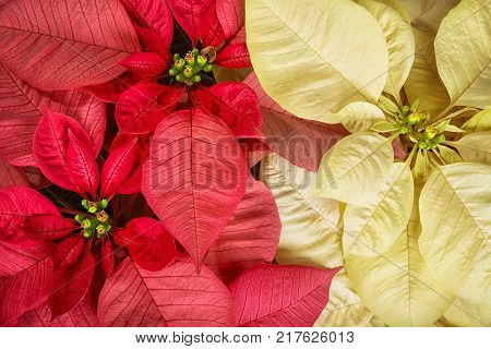 Top view of red pink and cream white poinsettias (Euphorbia pulcherrima) Christmas Star flowers.
