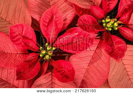 Top view of red and pink poinsettias (Euphorbia pulcherrima) Christmas Star flowers.