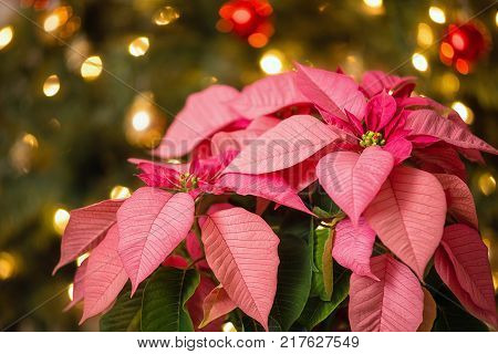 Pink Poinsettia (Euphorbia pulcherrima) Christmas Star flower. Festive Christmas tree background.