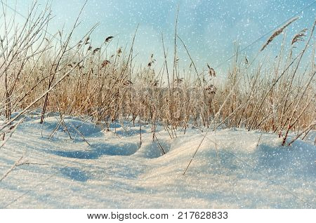 Winter landscape. Snowy winter field and frozen winter plants at the sunset, natural sunset winter scene. Rural winter landscape scene. Sunny winter nature, winter field covered with snow