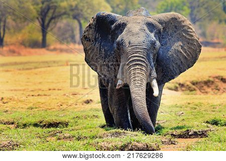 African elephant (Loxodonta) with ears flapping standing in a shallow agoon against a natural bush and plains background in South Luangwa National Park Zambia Southern Africa