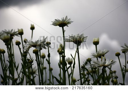 Runaways, buds, flowers, white petals of a camomile against the grey sky.