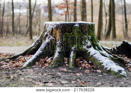 Old Tree Trunk In A City Park. Old Tree In A Winter Atmosphere.