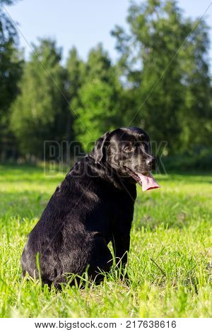 Young Black Labrador Retriever Sticking Out Tongue And Looking Forward On Blurred Green Background