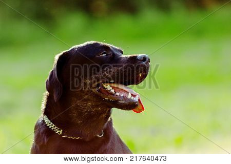 Black labrador retriever looking forward and sticking out tongue on blurred green background in rim light