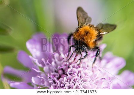 Bumblebee, bumble bee  on flower- macro shot