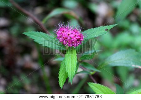 Spiraea japonica or Japanese meadowsweet beautifull batch of small purple flowers with large pointy leaves on dark leaves background
