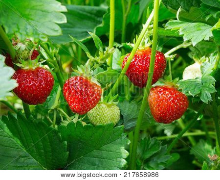 Strawberry plant. Wild stawberry bushes. Strawberries in growth at garden. Ripe berries and foliage strawberry