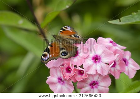 Aglais io, Inachis io, the European peacock butterfly sitting on the purple Phlox flowers.