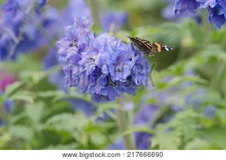 Vanessa atalanta, red admiral or admirable butterfly, sitting on the blue Delphinium flowers. close up, macro.