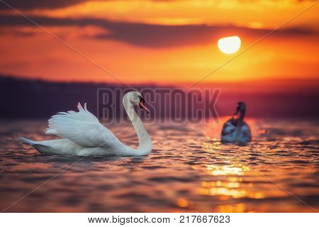Swans in the sea and beautiful sunset.