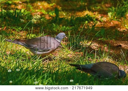 Two Common Wood Pigeons Looks for Food on the Grass