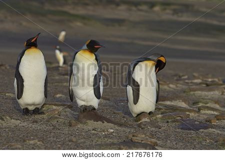 Group of King Penguins (Aptenodytes patagonicus) at The Neck on Saunders Island in the Falkland Islands.