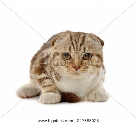 Marble brown Scottish fold kitten isolated on white background
