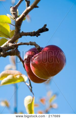 Apples On The Tree 2
