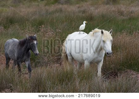 Two Camargue horses one adult and one colt standing in a lush field. The adult horse has a cattle egret on its back.