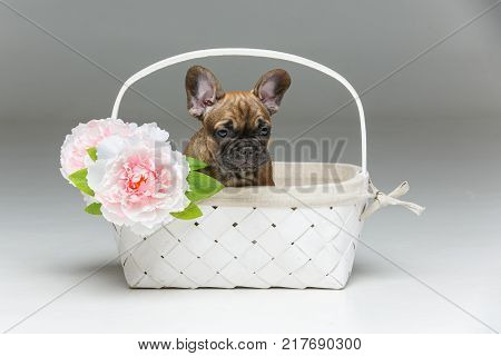 beautiful little French bulldog puppy dog sitting in basket isolated on white. 2 months old. copy space.